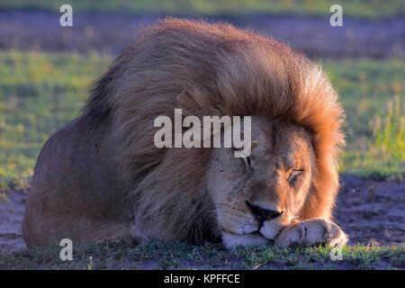 Visite de la faune dans l'une des destinations de la faune premier sur earht -- Le Serengeti, Tanzanie. Dormir beau mâle lion.