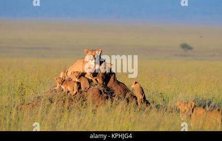 Lionne avec oursons reposant sur fourmilière sur plaines herbeuses de kopjes Maasaï près de Serengeti, Tanzanie, Banque D'Images