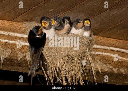 Rauchschwalbe, Rauch-Schwalbe, Rauch - Schwalbe, Altvogel Lehmnest füttert in Ihrem Küken, Nid, Hirundo rustica Banque D'Images
