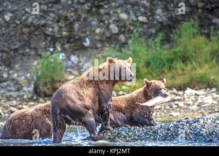 L'ours grizzli. Aussi appelé Ours bruns. McNeil River State Game Sanctuary et refuge. Péninsule de l'Alaska, l'Alaska, Banque D'Images
