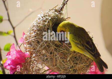 masques weaver oiseau - ploceus velatus