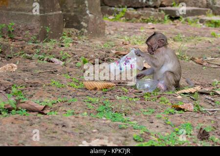 Un singe macaque curieux s'asseoir et à l'alimentation, l'étude d'une tasse en plastique vide, gauche trash par Banque D'Images
