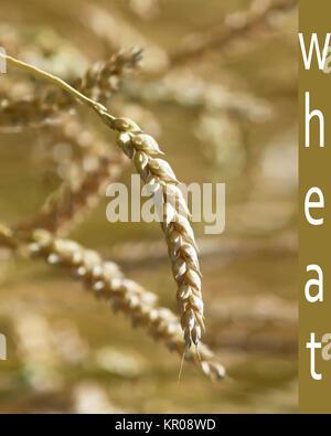 Close up de grains de blé d'or Banque D'Images