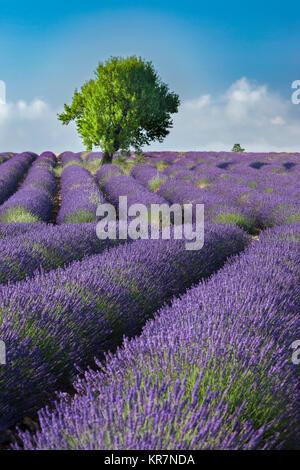 Des lignes le long de la lavande du Plateau de Valensole, Alpes- de-Haute-Provence, Provence France Banque D'Images