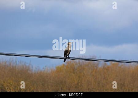 Cormoran perché sur un fil en Italie en décembre nom Latin pelecaniformes phalacrocorax carbo