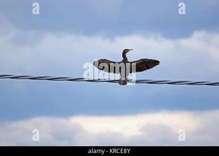 L'ampleur de cormorans perchés sur un fil en Italie en décembre nom Latin pelecaniformes phalacrocorax carbo