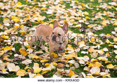 Bouledogue Français - Canis lupus familiaris, Mature chiot dans l'arrière-plan du feuillage Banque D'Images