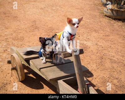 Deux petit chien debout sur voiture en bois Banque D'Images