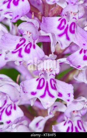 Lettres, initiales et monogrammes sur Fleurs sauvages - Monogrammé repéré commun Orchid (Dactylorhiza fuchsii) 'DG' Banque D'Images