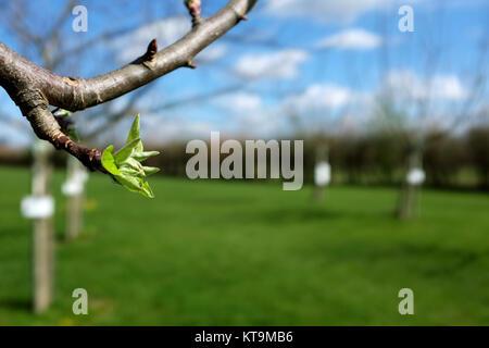 Close-up de feuilles vertes ouvrant sur apple tree