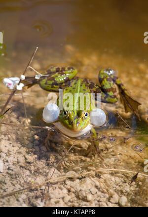 Grenouille comestible, de l'eau commune grenouille (Rana kl. esculenta), également nommé la grenouille verte, dans Banque D'Images
