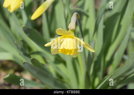 Floraison de printemps les plantes de l'ampoule dans le parterre. Fleurs jaune jonquille Banque D'Images