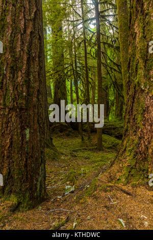 Bien qu'anciennes oliveraies Sentier Nature forêt ancienne dans la section Sol Duc d'Olympic National Park à Washington, Banque D'Images
