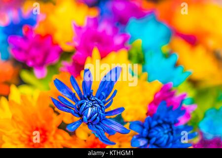 Marguerites multicolores teints dans les bouquets avec gros plan macro bleu, jaune, orange et rose couleurs
