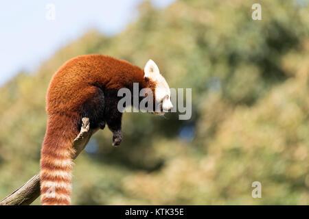 Le panda rouge dans un arbre Banque D'Images