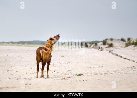 Un poney Sauvage, cheval, de Assateague Island, Maryland, USA sur la plage. Ces animaux sont également connus sous Banque D'Images