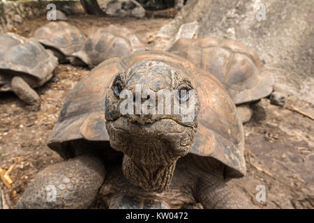 Tortue géante d'Aldabra (Aldabrachelys gigantea), Testudinidae. L'Union Estate Farm Banque D'Images