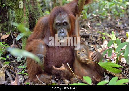 Mère et de l'orang-outan cub dans un habitat naturel. Orang-outan (Pongo pygmaeus) wurmmbii dans la nature sauvage. Banque D'Images