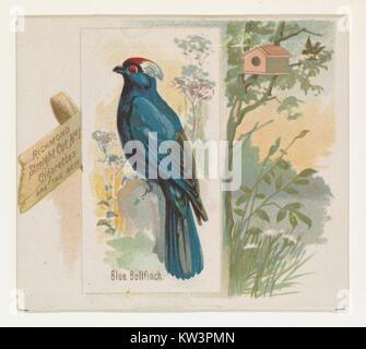 Bouvreuil bleu, du chant des oiseaux de la série mondiale (N42) pour Allen & Ginter Cigarettes RENCONTRÉ DP839249 Banque D'Images
