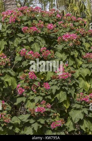 Hortensia Rose Tropical, Dombeya burgessiae, en fleurs dans le jardin, en Floride. Banque D'Images