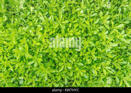 Image de printemps frais herbe verte. d'artifices Banque D'Images