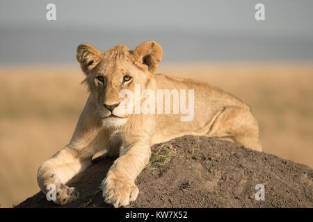Lion (Panthera leo) cub assis sur une termitière à l'avant dans la réserve de Masai Mara Banque D'Images