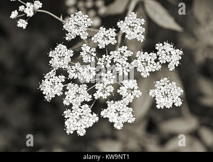 Fleurs blanches dans le platine Banque D'Images