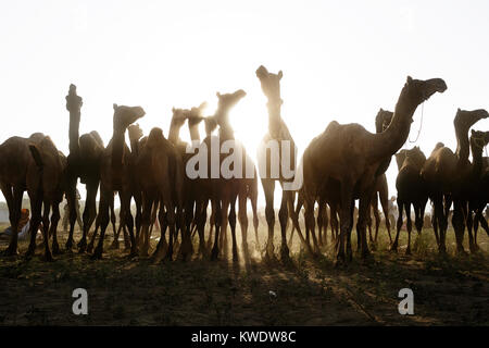 Scène à Pushkar Camel Fair, troupeau de chameaux, contrejour, matin, Pushkar, Rajasthan, India Banque D'Images
