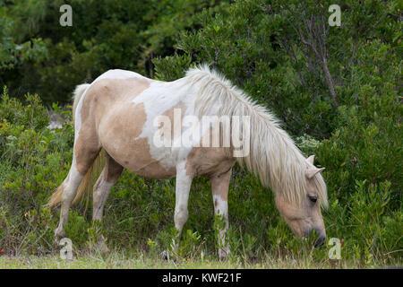 Un poney Sauvage, cheval, de Assateague Island, Maryland, USA. Ces animaux sont également connus sous le nom de Banque D'Images