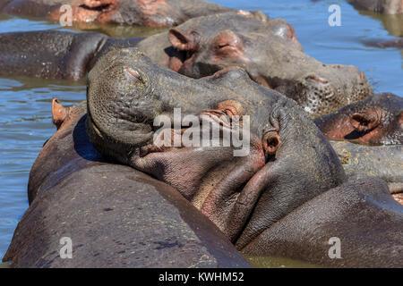 L'hippopotame commun, ou de l'hippopotame, est un grand mammifère herbivore semi-aquatiques, principalement originaires Banque D'Images