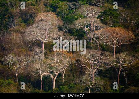 Grand Cuipo arbres dans la lumière du soir dans le parc national de Soberania, République du Panama. Banque D'Images
