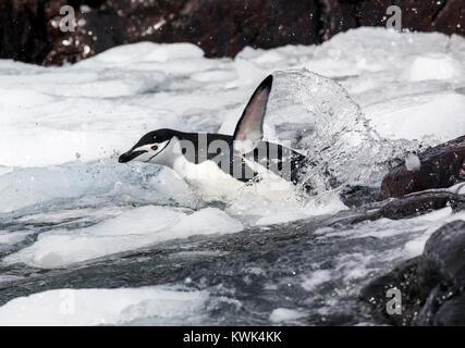 Une jugulaire Penguin; Pygoscelis antarcticus; le phoque annelé, le phoque barbu penguin penguin penguin stonecracker;;; Banque D'Images