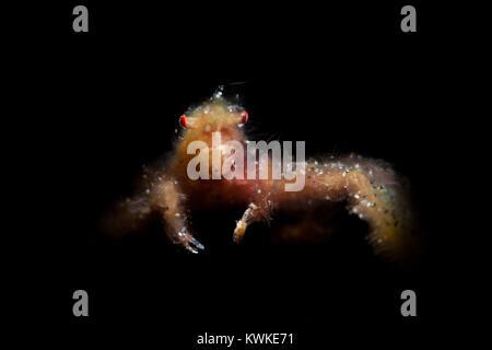 Orang-Utan Crab (Achaïos japonicus) Banque D'Images