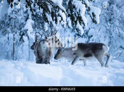 À Rennes recherche d'appât sous la neige. En Laponie suédoise. Banque D'Images