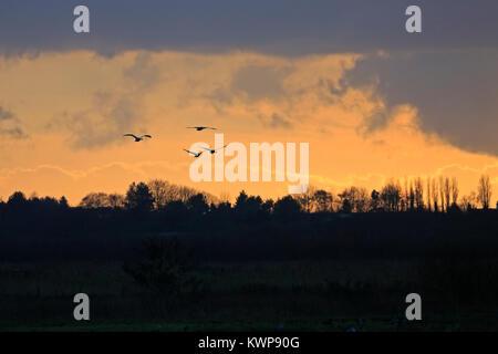 Quatre cygnes chanteurs entrée en pluie au coucher du soleil à Martin simple Banque D'Images