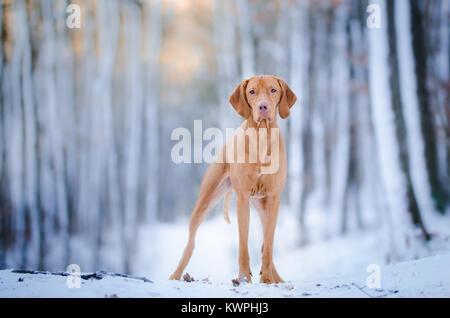 Hound Dog hongrois sur la neige en hiver Banque D'Images