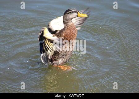 Les plumes de canard!!! Des couleurs vives!!! Simple!!!! Franc!!! Best Shot!!!! Cliquez sur Instantané!!!! Banque D'Images