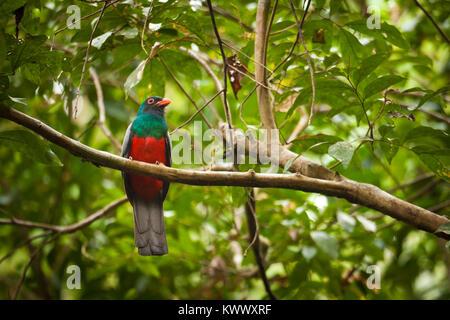 Trogon à queue vineuse, Trogon massena hoffmanni, sur une branche dans la forêt tropicale du parc national de Soberania, Banque D'Images