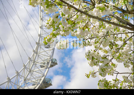 Londres, ANGLETERRE - 30 avril 2013 : blanc fleurs de sakura en face de London Eye, la grande roue de Londres, UK Banque D'Images