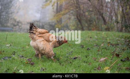 Le pâturage dans le domaine agricole de poulet Banque D'Images