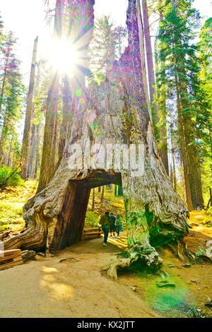 Yosemite National Park, USA- 10 Octobre 2017: vue sur l'arbre mort en tunnel Tuolumne Grove, Yosemite National Banque D'Images
