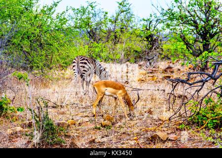 Zebra et Impala paissant dans la sécheresse savane du centre de Kruger Park en Afrique du Sud Banque D'Images