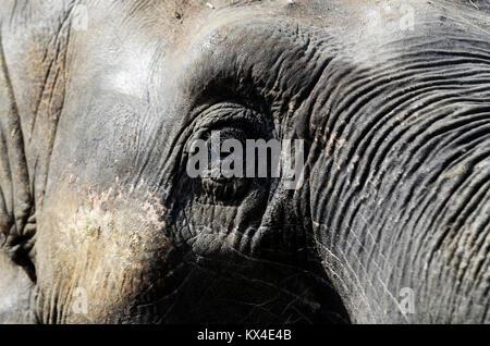 Dans l'éléphant du zoo Banque D'Images