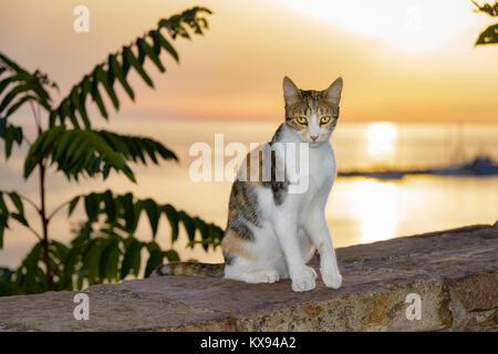 Chat, patched tabby et blanc fourrure, assis sur un mur au bord de la mer pendant le coucher du soleil magnifique, île de Lesbos, Grèce.