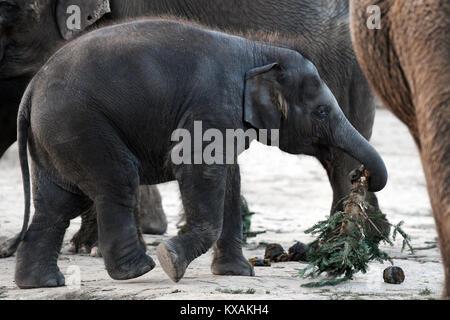 Berlin, Allemagne. 8 janvier, 2018. Bébé éléphant asiatique Edgar mange un arbre de Noël au Wildlife park à Berlin, Banque D'Images