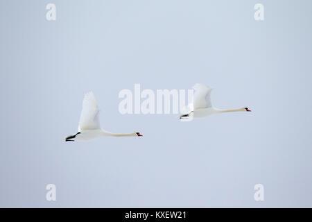 Deux cygnes tuberculés (Cygnus olor) en vol contre ciel pâle Banque D'Images