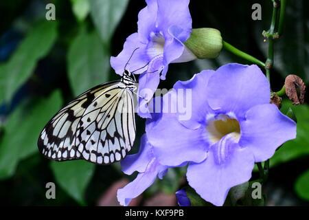 Un joli papillon nymphe atterrit sur une fleur dans les jardins. Banque D'Images