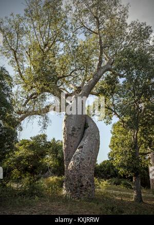 Les baobabs torsadés, Madagascar. Banque D'Images