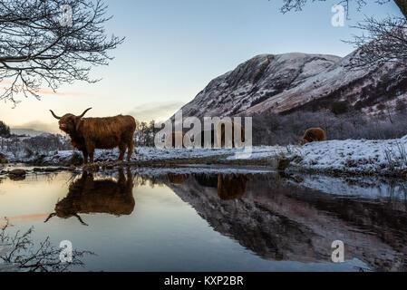 En hiver, les vaches Highland Banque D'Images