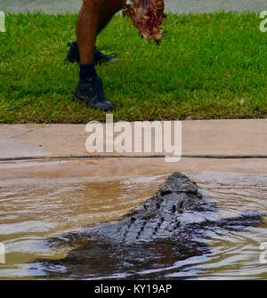 Grand saltwater crocodile, Crocodylus porosus, dans un spectacle au Zoo Australia, Australia Zoo, Beerwah, Queensland, Banque D'Images